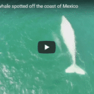 Check Out This Video Of Rare Albino Gray Whale