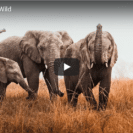 Watch The Moment Rehabilitated Elephants Are Released Back Into The Wild