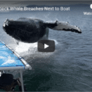 Humpback Whale Breaches Right Next To Tour Boat