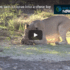 Check Out These Two Lion Cubs Trying To Make A Meal Of A Tortoise