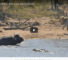 Check Out VideoOfBuffalo Bull Fending Of Crocodile And Lion Pride